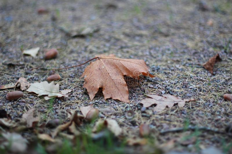 Maple and oak leaf with acorns stock photos