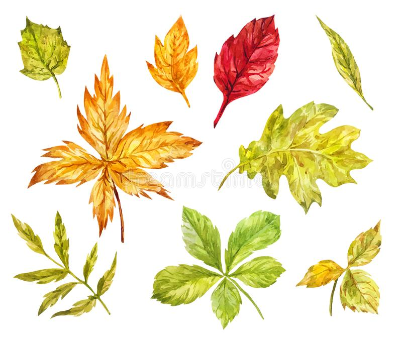 Maple, rowan, oak, birch leaves isolated on white. Watercolor se. T of elements for light autumn design vector illustration