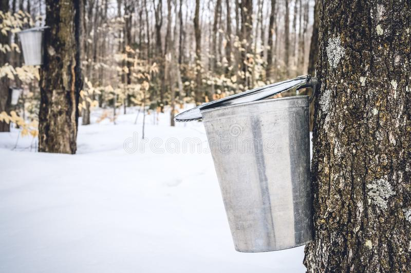 Maple sap dripping into a metal pail. Maple syrup season. Maple sap dripping into a metal pail attached to a tree. Copy space stock photography