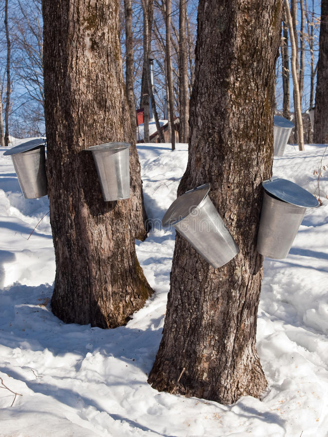 Maple Sap Harvesting in Quebec, Canada. Aluminum bucket attached to a Quebec maple tree ready to collect sap stock photo