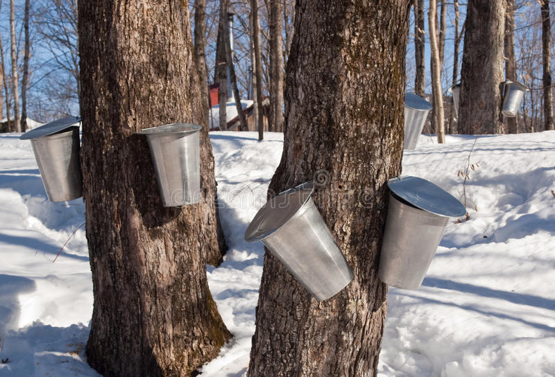Maple Sap Harvesting in Quebec, Canada. Aluminum bucket attached to a Quebec maple tree ready to collect sap stock photos