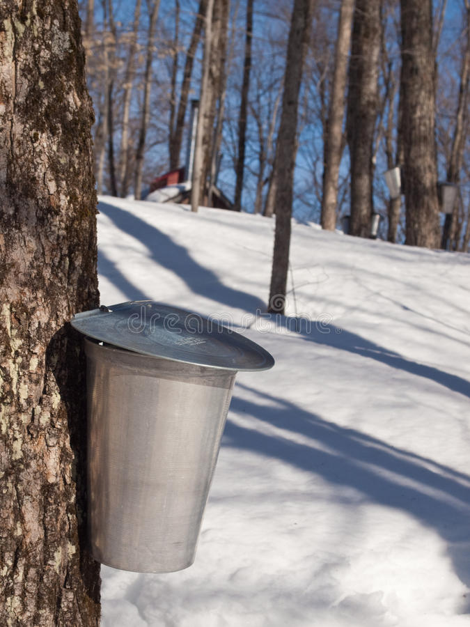 Maple Sap Harvesting in Quebec, Canada. Aluminum bucket attached to a Quebec maple tree ready to collect sap royalty free stock images