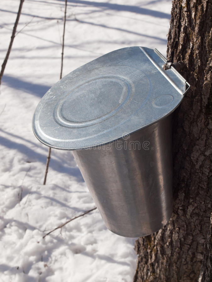 Maple Sap Harvesting in Quebec, Canada. Aluminum bucket attached to a Quebec maple tree ready to collect sap stock photography