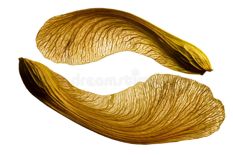 Maple Seed Stock Images - Download 3,233 Royalty Free Photos
