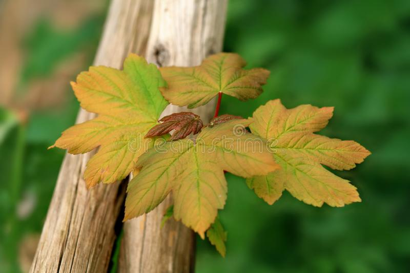 Download Maple Seedling stock photo. Image of woods, morning, green - 2990874