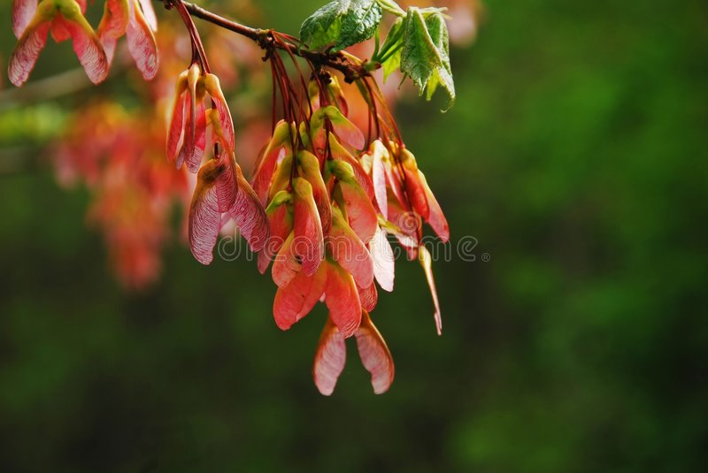 Maple seeds royalty free stock images