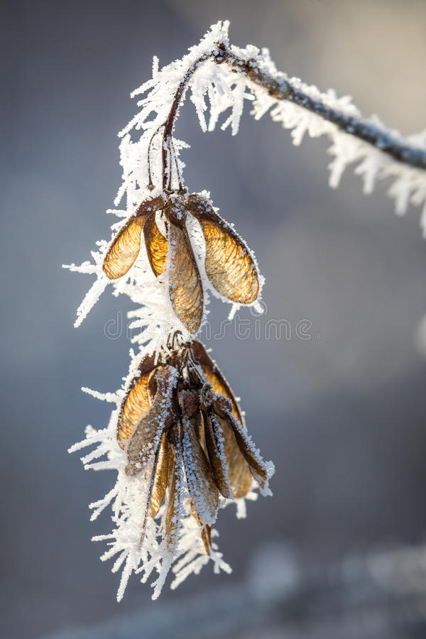 Download Maple Seeds With Frost Stock Photo - Image: 83702695