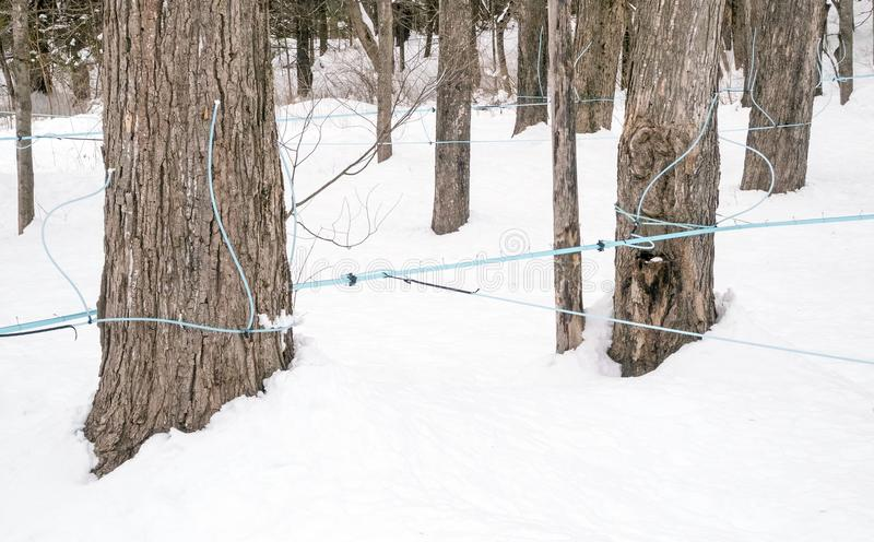Maple sugar house blue tubing and fittings on maple trees. In snow to collect sap for boiling and production, Lenox, Massachusetts, Berkshires during March royalty free stock photo