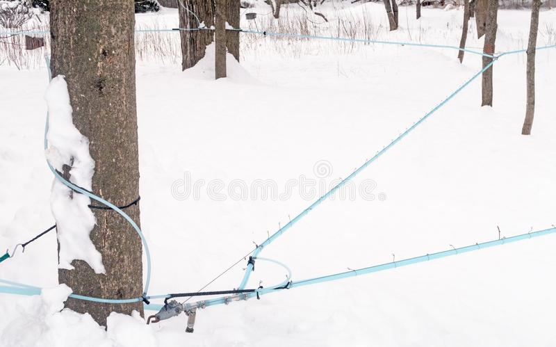 Maple sugar house blue tubing and fittings on maple trees. In snow to collect sap for boiling and production, Lenox, Massachusetts, Berkshires during March royalty free stock images