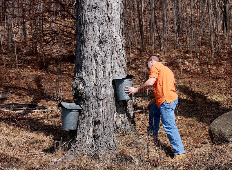 Maple Sugar Season. Man checking metal buckets attached to maple trees used to collect sap in the spring royalty free stock photo