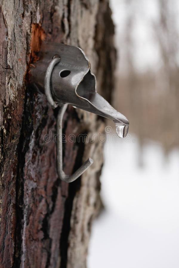 Free Maple Sugar Tap In Tree Royalty Free Stock Photography - 13239047