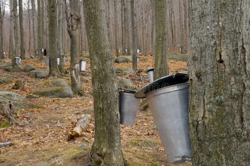 The Maple Syrup Farms with Sap Pails. The Maple Syrup Farms with trees being tapped for sap with pails during Autumn stock images