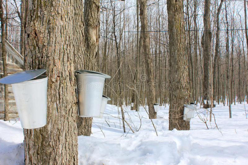 Maple syrup season. Pail used to collect sap of maple tree to produce maple syrup royalty free stock photo