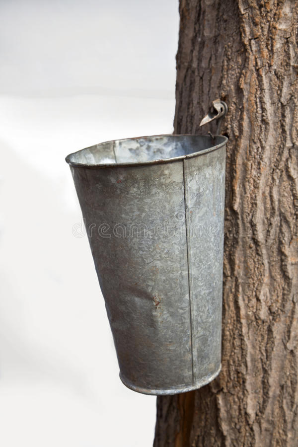 Maple Syrup tap. An old fashioned spigot tapped into a maple tree to collect sap for Maple Syrup stock photos