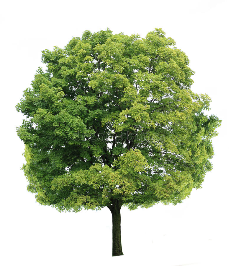 Maple Tree royalty free stock photography