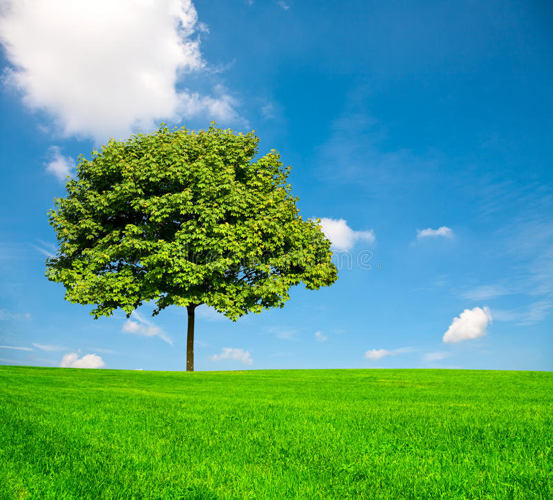 Download Maple tree stock photo. Image of meadow, outdoors, freshness - 14806280