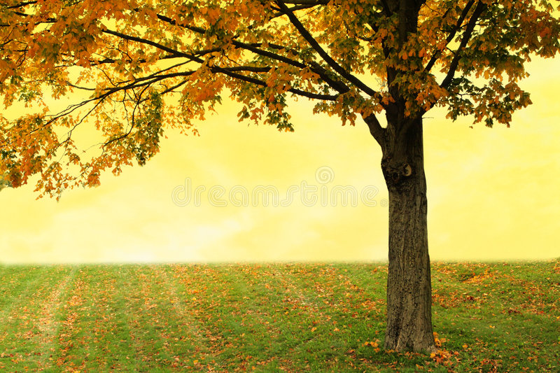 Download Maple Tree Royalty Free Stock Images - Image: 6813139