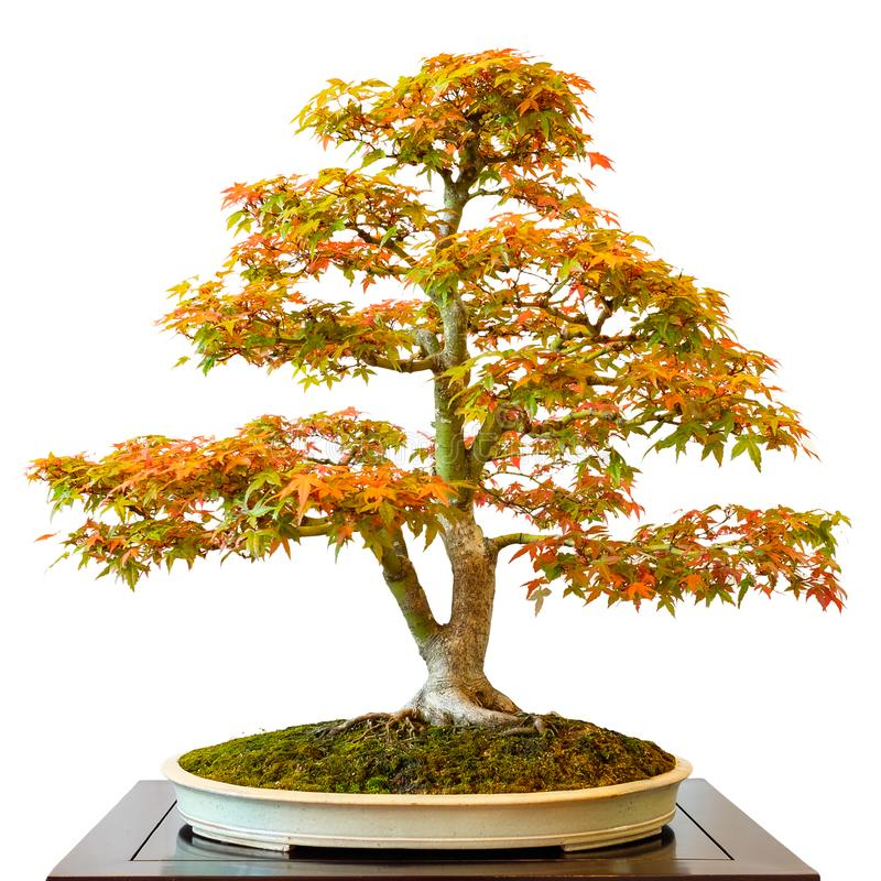 Maple tree Acer palmatum as bonsai. White isolated royalty free stock photos