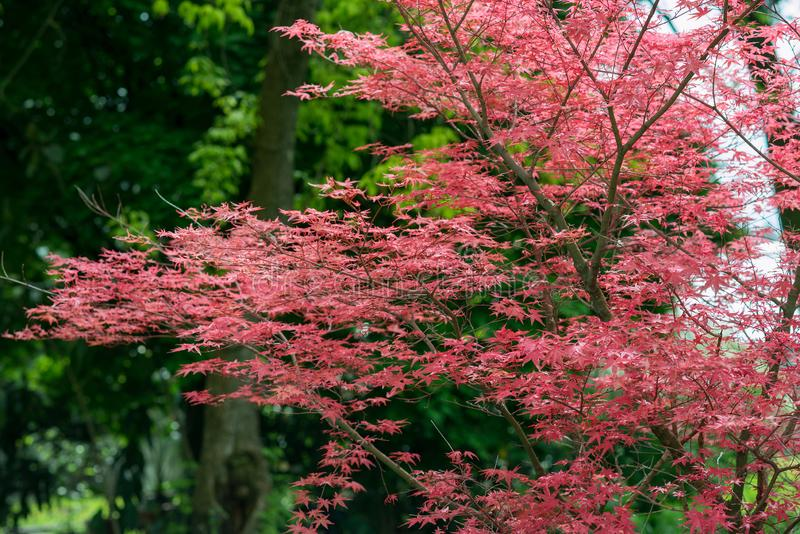 Maple tree Acer palmatum. In the garden royalty free stock photography