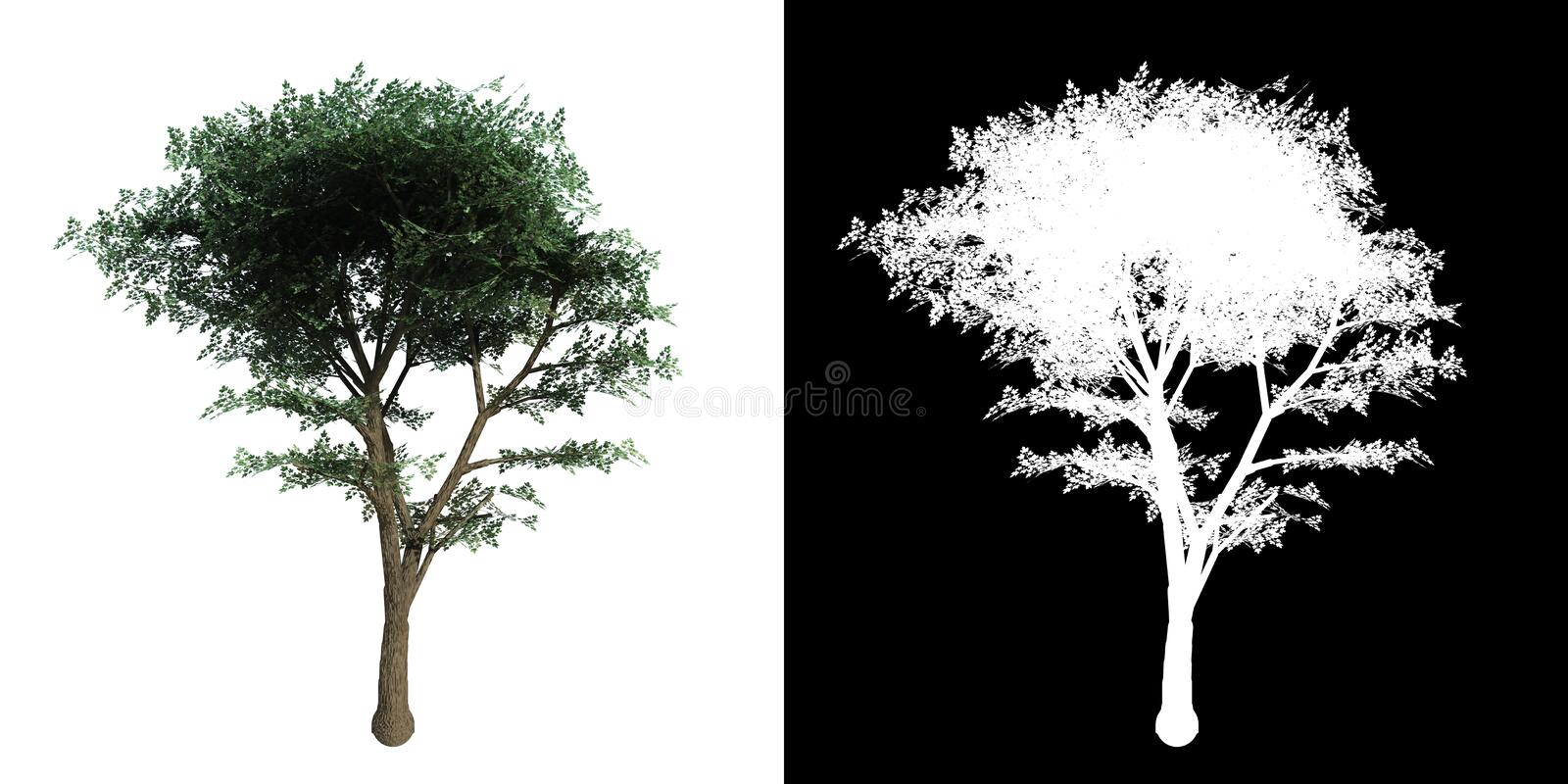 Maple tree with alpha. Ideal for composition royalty free illustration