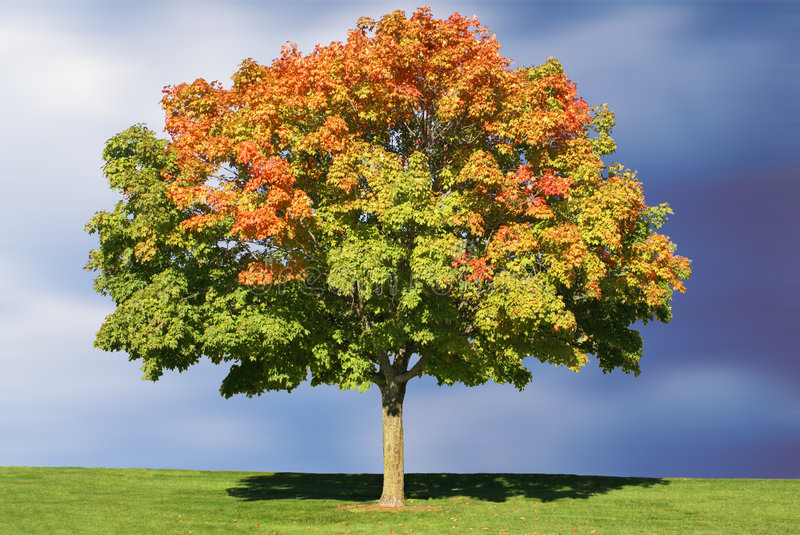 Maple Tree in Autumn. A lone maple tree in early autumn color against a brilliant blue sky royalty free stock photos