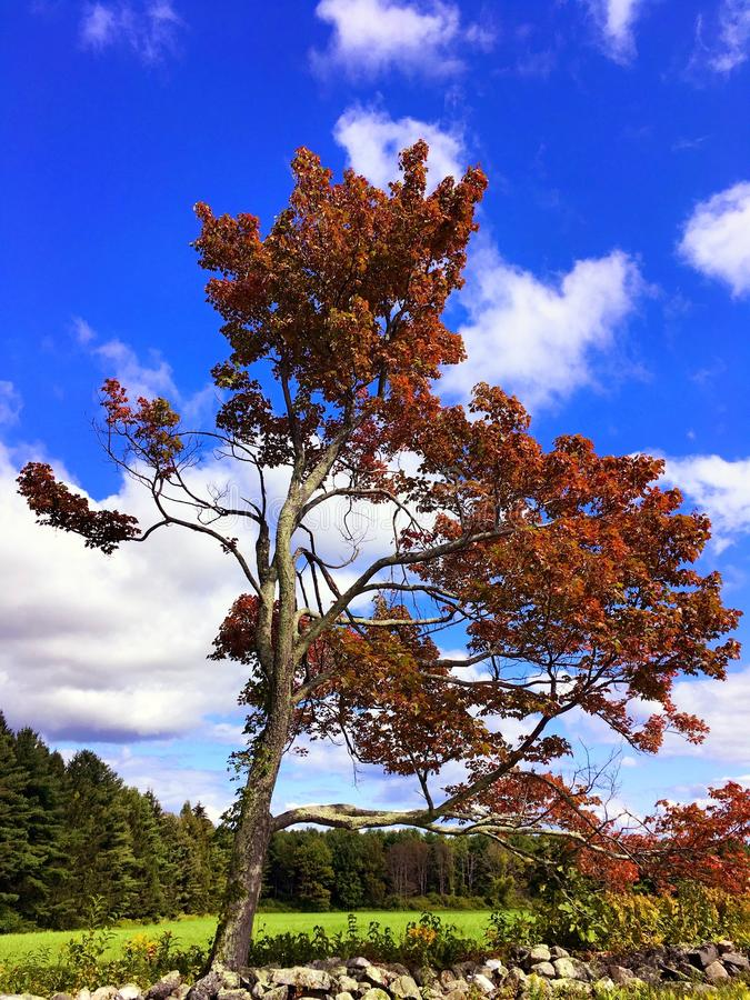 Maple tree in the autumn Connecticut. A single maple tree against blue sky in autumn in Topsmead state forest park Litchfield Connecticut United States royalty free stock photography