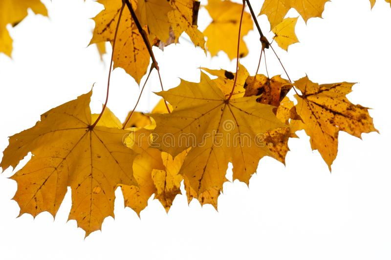 Maple tree in the autumn. Yellow leaves of the maple on the white background. Bottom view. Copy space for text stock photo