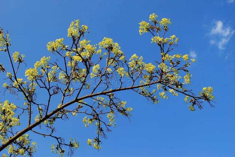 Maple tree blooming on blue sky background royalty free stock image