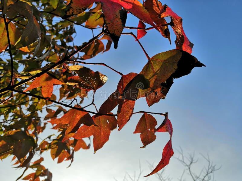Maple tree and blue sky. stock photos
