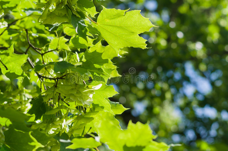 Maple tree branch with bunch of seeds stock images