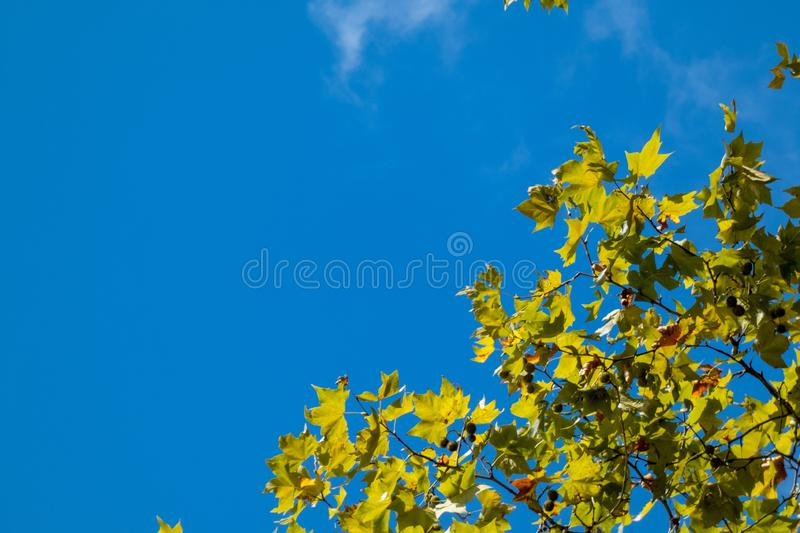 Maple tree branch with colorful autumn leaves photographed against a blue sky. Copy space, a place for text royalty free stock photo