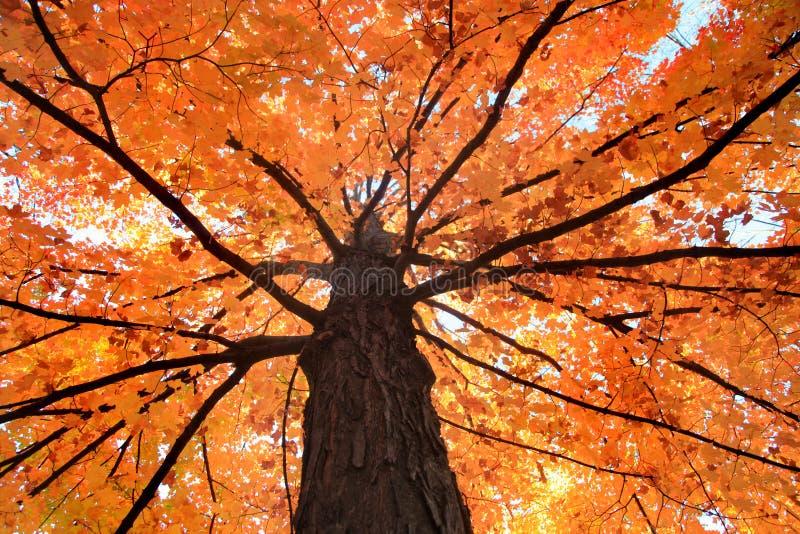 Maple tree royalty free stock image