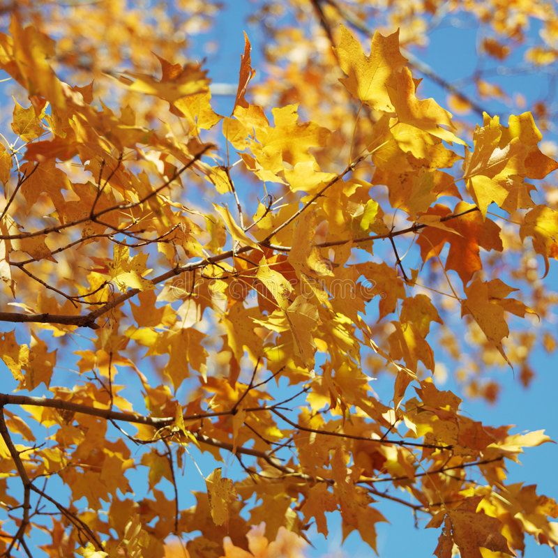 Maple tree in Fall color. stock photo