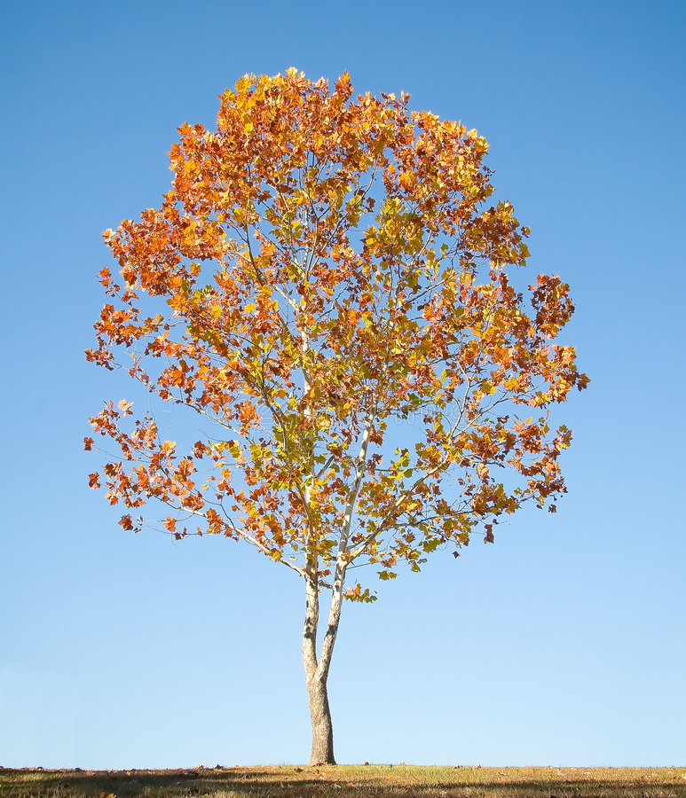 Download Maple Tree With Fall Foliage Stock Photo - Image: 1723946
