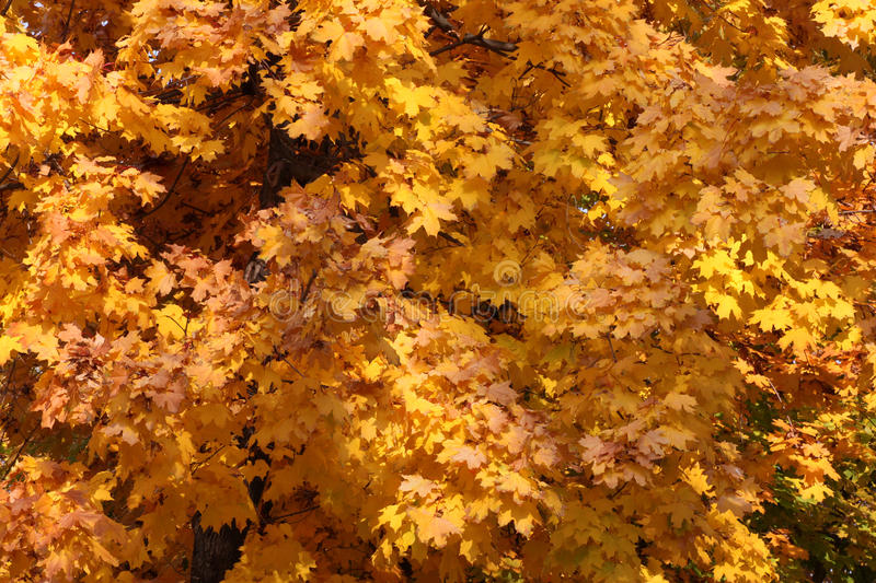 Download Maple Tree At Fall Stock Photo - Image: 34437340