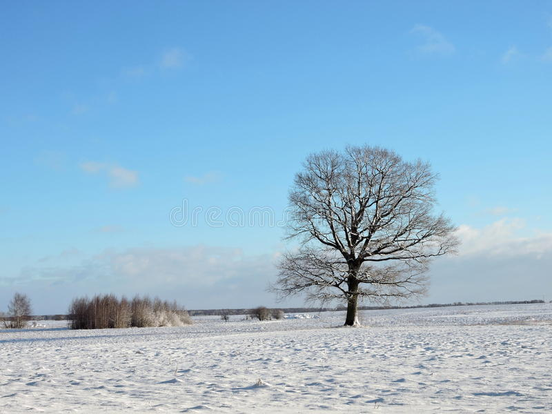 Download Maple Tree In Field, Lithuania Stock Photo - Image: 83715290
