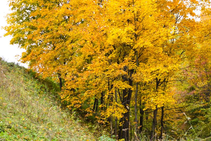 Maple tree with golden foliage. Gorokhovets. Vladimir oblast, Russia stock images