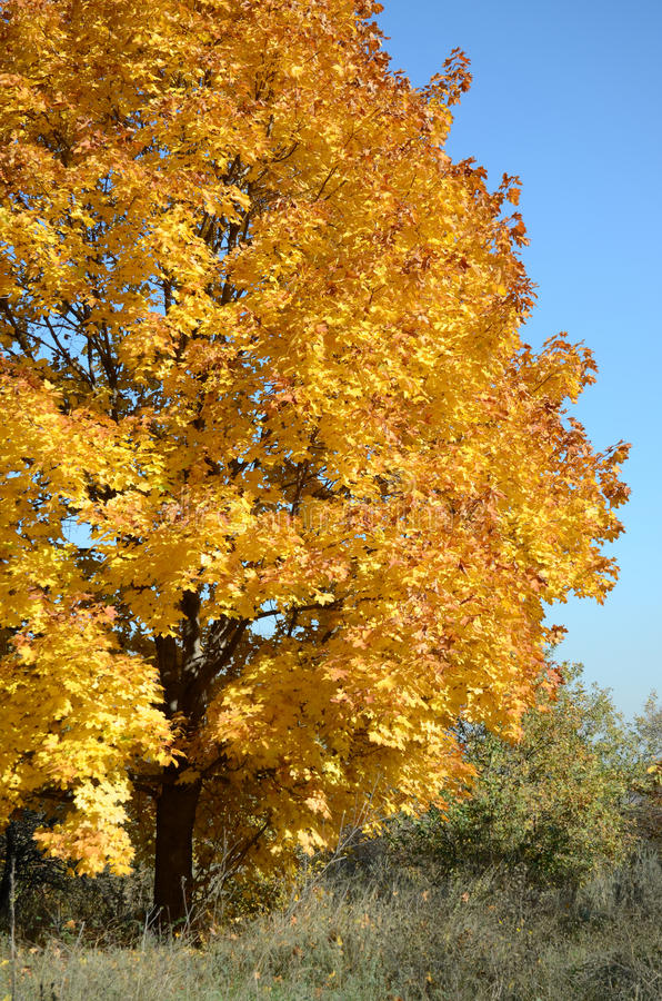 Maple tree with Golden leaves in autumn in nature on the background of blue sky stock photos