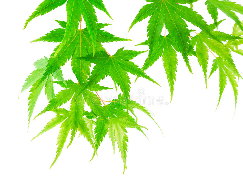 Maple tree green leaves stock photography
