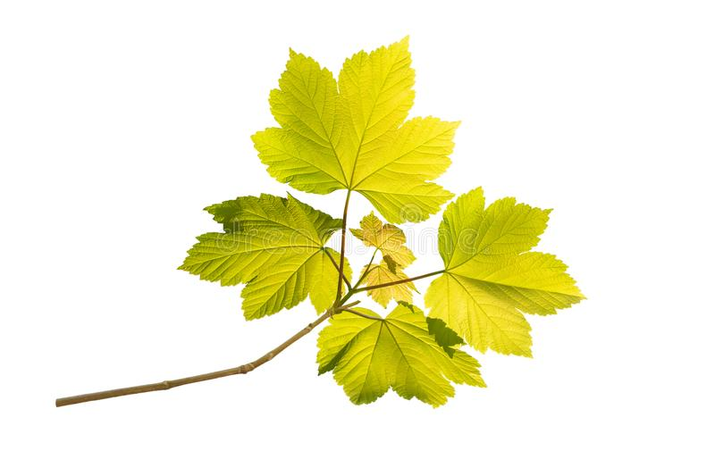 Maple tree green spring branch isolated on white royalty free stock photo