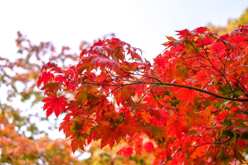 Maple tree have a leaf change color on the tree, colorful maple trees, Red autumn leaves season in autumn park, Japan autumn seaso. N royalty free stock photo