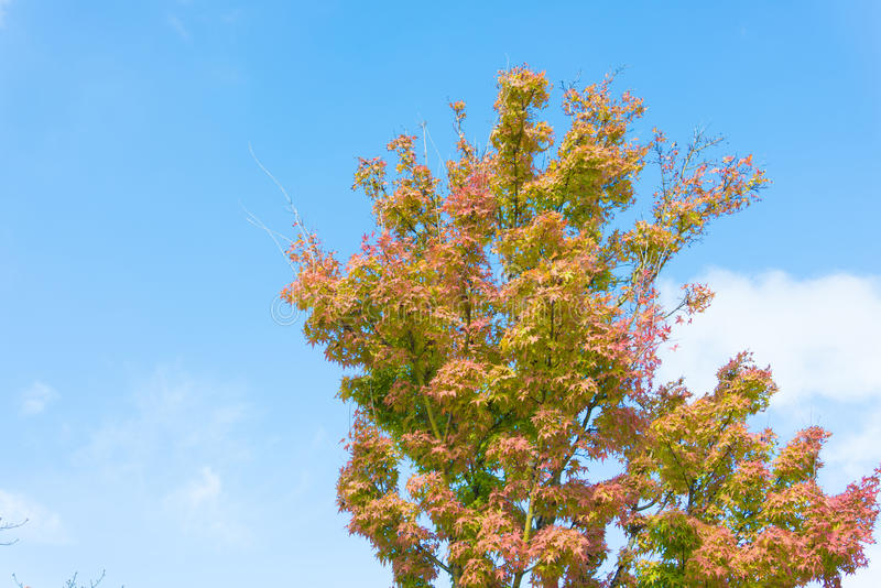 Download Maple Tree That Impending Autumn Leaves Stock Photos - Image: 34310653
