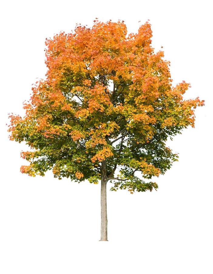Free Maple Tree In Autumn Royalty Free Stock Photos - 6654308