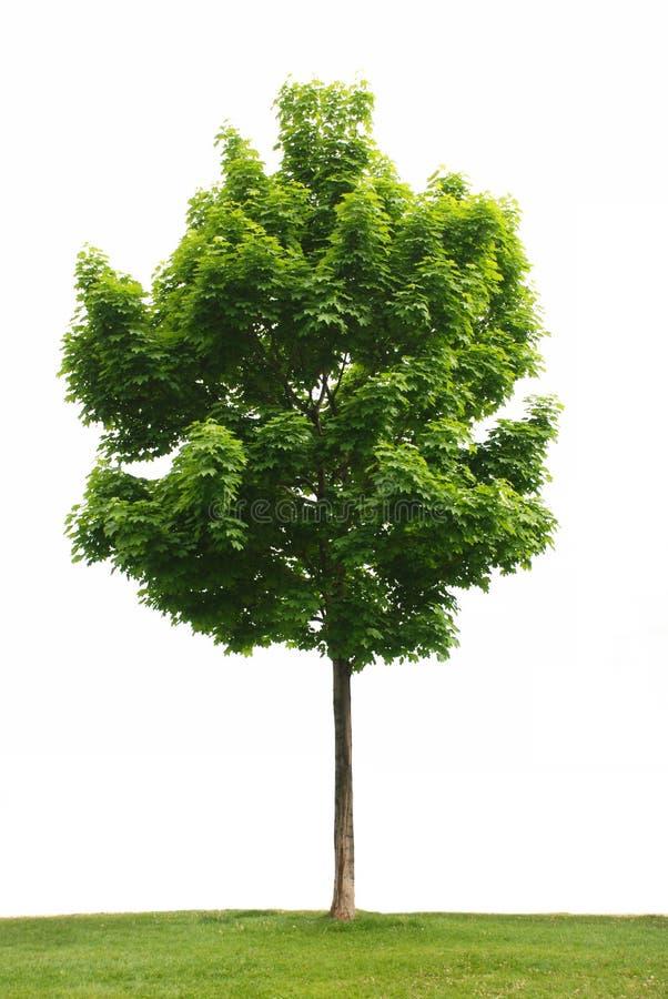 Free Maple Tree Isolated Royalty Free Stock Image - 5068296