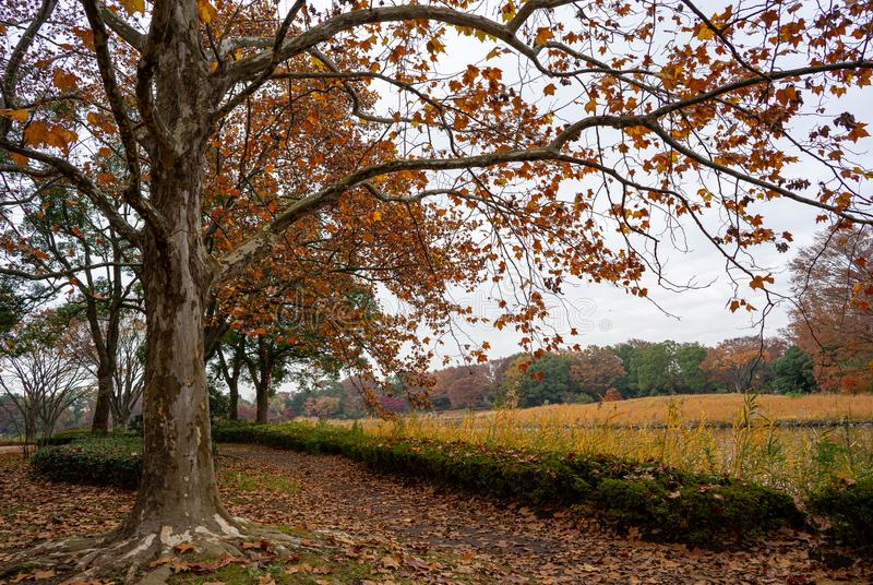 Maple tree in Japanese park in autumn stock images