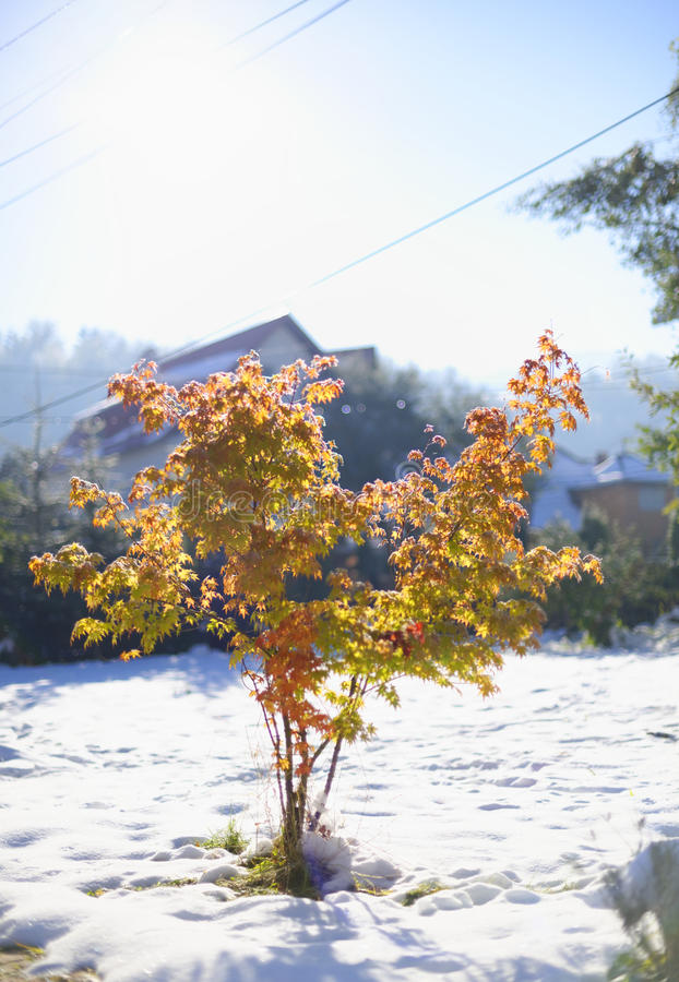 Maple Tree In Late Autumn Royalty Free Stock Images