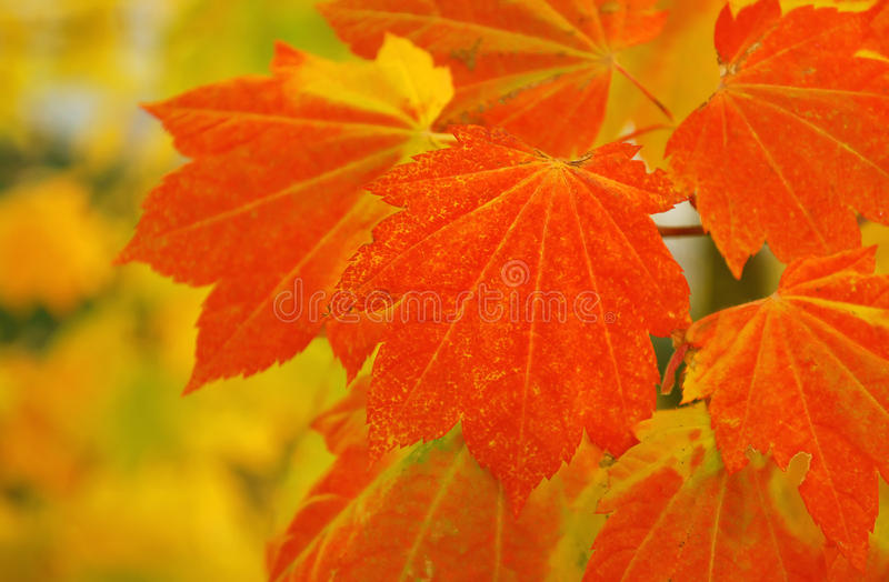 Download Maple Tree Leaves Royalty Free Stock Photo - Image: 11589565