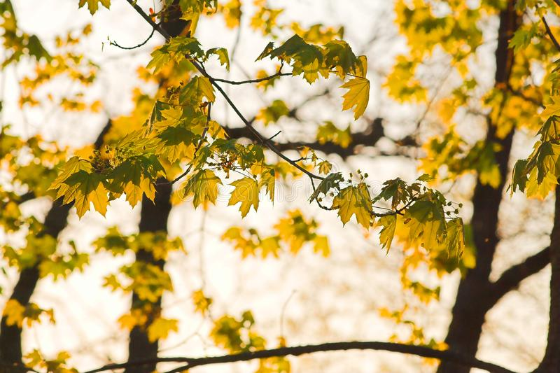 Maple tree leaves stock photography