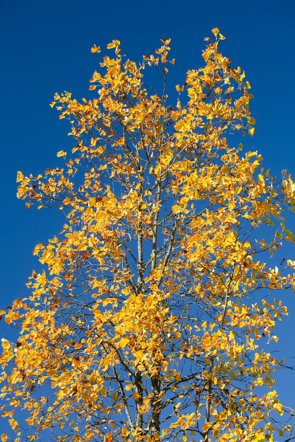Download Maple Tree With Orange Leaves Against Blue Sky Royalty Free Stock Photography - Image: 1359787