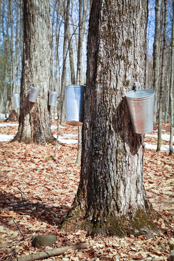 Maple tree. Pails in trees to collect sap of maple trees to produce maple syrup stock image